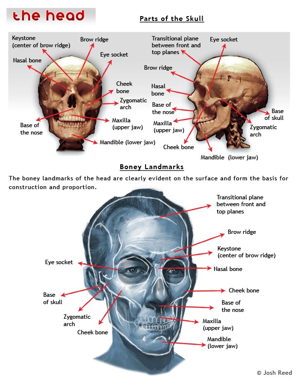 Drawing Anatomy Skull Proportions